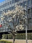 こぶしの花.jpg